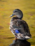 Female Mallard Duck Standing on a rock Stock Photo