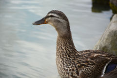 Female mallard Stock Photography