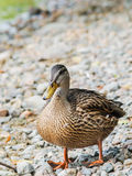 Female mallard duck. Standing on rocks at shore Stock Images