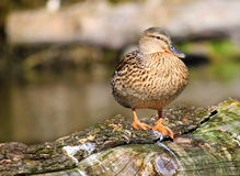 Female Mallard Duck. Standing on trunk Stock Image
