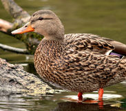 Female Mallard  Duck. Standing in water Royalty Free Stock Images