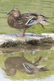 A female mallard duck stretching. On the Cemetery Lake, Southampton Common Royalty Free Stock Image