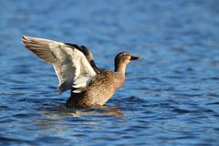 Female Mallard Duck Stretching Her Wings. A female mallard duck swimming on a pond and flapping her wings Royalty Free Stock Photography
