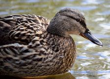 Female mallard duck in summer pond. Close up Stock Images