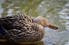 Female mallard duck in summer pond. Close up Royalty Free Stock Photography