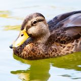Adult female Mallard duck swimming in a pond. Female Mallard duck swimming. Anas platyrhynchos.  Medium sized water fowl, mottled buff to dark brown feathers Royalty Free Stock Image