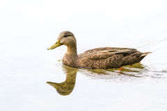Female Mallard Duck. Swimming on a calm lake, with a reflection and white backgrond stock photos