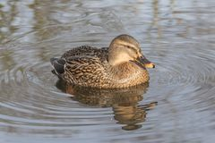 A mallard duck on an icy pond. A female mallard duck swimming on the Cemetery Lake on Southampton Common, Hampshire, UK on an icy day Stock Images