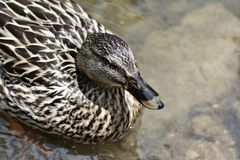Female Mallard duck swimming in creek Stock Photos