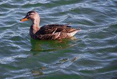 Female Mallard duck swimming in a deep green lake. Side view Royalty Free Stock Photos