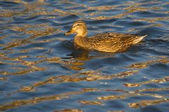 A female mallard duck. Royalty Free Stock Images