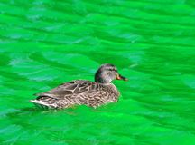 Female Mallard Duck swimming in Green Dyed Canal Water. At St Patrick's Day in Indianapolis,IN royalty free stock images
