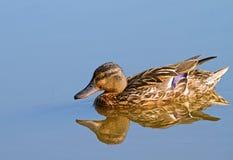 Female mallard duck. Stock Photography
