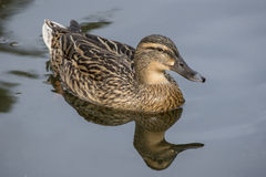Female Mallard Duck. Swimming on a lake Royalty Free Stock Photos