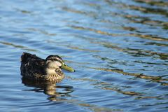 Female Mallard Duck swimming on a lake Royalty Free Stock Image