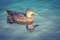 Female Mallard Duck swimming on a lake. Close up image of a female Mallard Duck swimming on a lake Stock Image