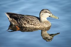 Female Mallard Duck swimming on a lake Royalty Free Stock Photos