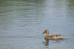 Female mallard duck Stock Images