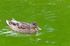 Female mallard duck swimming in murky water. Female mallard duck swimming in murky green calm water, reflection in the water Royalty Free Stock Image