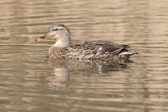 A female mallard duck Stock Photo