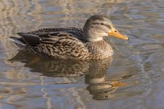A female mallard  duck on the Ornamental Pond,  Southampton Common Stock Photo