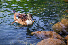 Female mallard duck Stock Images