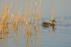 Female Mallard Duck. Swimming between Reeds in Balaton Lake Royalty Free Stock Photography