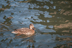 Female Mallard Duck swimming. In the river with Sunlight shining on it Royalty Free Stock Image