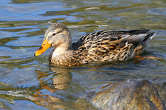 Female mallard duck. Swimming by a rock in green water with reflections Stock Image