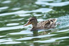 Female mallard. Duck swimming tranquil on the water surface Stock Image