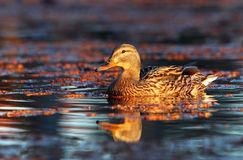 Female mallard duck swimming in the water. Amongst vegetation Royalty Free Stock Photo