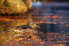 Female mallard duck swimming in the water. Amongst vegetation Stock Photography