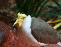 Female Mallard Duck swimming Stock Images