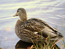 Female Mallard Duck swimming. In water Royalty Free Stock Photo