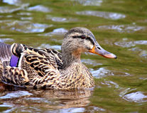 Female Mallard Duck swimming. In water Stock Photography