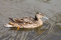 Female Mallard. Duck swimming in the water Royalty Free Stock Photography