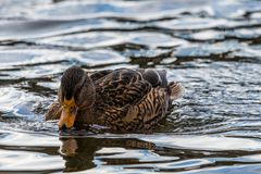 Female mallard duck swimming on the water. Brown water bird. Late winter Stock Photos