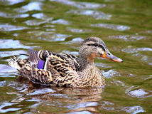 Female Mallard Duck swimming in water. Very detailed Royalty Free Stock Photos
