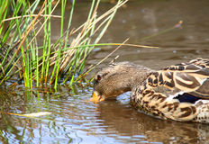 Female Mallard Duck swimming in water. Very detailed Royalty Free Stock Images