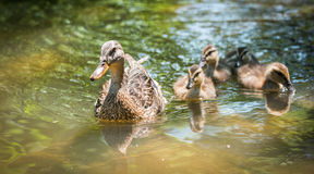Female Mallard duck swims along the Ottawa River with her gosling family. Young Mallard duck family - babies swimming together with their mom past the camera Royalty Free Stock Image