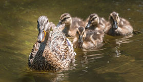Female Mallard duck swims along the Ottawa River with her gosling family. Young Mallard duck family - babies swimming together with their mom past the camera Stock Image