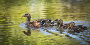Female Mallard duck swims along the Ottawa River with her gosling family. Young Mallard duck family - babies swimming together with their mom past the camera Royalty Free Stock Photos