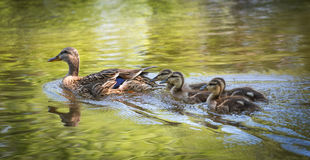Female Mallard duck swims along the Ottawa River with her gosling family. Stock Images