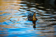 Female mallard duck swims in South park, Sofia. Female mallard duck swims in a lake in South park, Sofia, Bulgaria in the golden hour Royalty Free Stock Photo