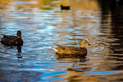 Female mallard duck swims in South park, Sofia. Female mallard duck swims in a lake in South park, Sofia, Bulgaria in the golden hour Royalty Free Stock Image