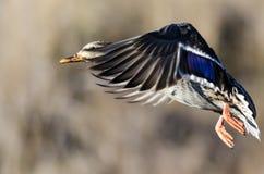 Mallard Duck Taking to Flight. Female Mallard Duck Taking to Flight Royalty Free Stock Image
