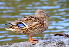 Female Mallard Duck on trunk. Female Mallard Duck swimming in water Stock Photo