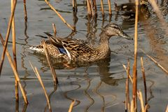 Female of mallard duck with two ducklings. Female of mallard duck Anas platyrhynchos with two ducklings in the water among reeds stock images