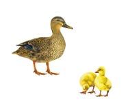 Female mallard duck, two little yellow ducklins Stock Images