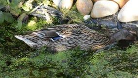 Female mallard ducks frantically foraging for duckweed. Female mallard duck, urgently foraging for duckweed in an English garden pond stock footage